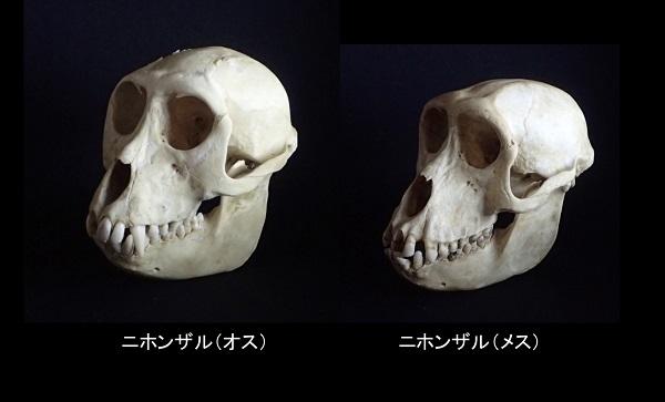 ニホンザルの頭骨標本を提供いただきました